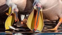 Mishmar HaSharon, Israel: Weiße Pelikane nehmen ihre Mahlzeit in ihrem Reservat nördlich von Tel Aviv zu sich. Auf dem Weg vom Norden nach Afrika passieren Tausende der Vögel Israel. Örtliche Farmer bieten den Tieren Futter an, damit diese ihre Fischfarmen nicht leer fressen.