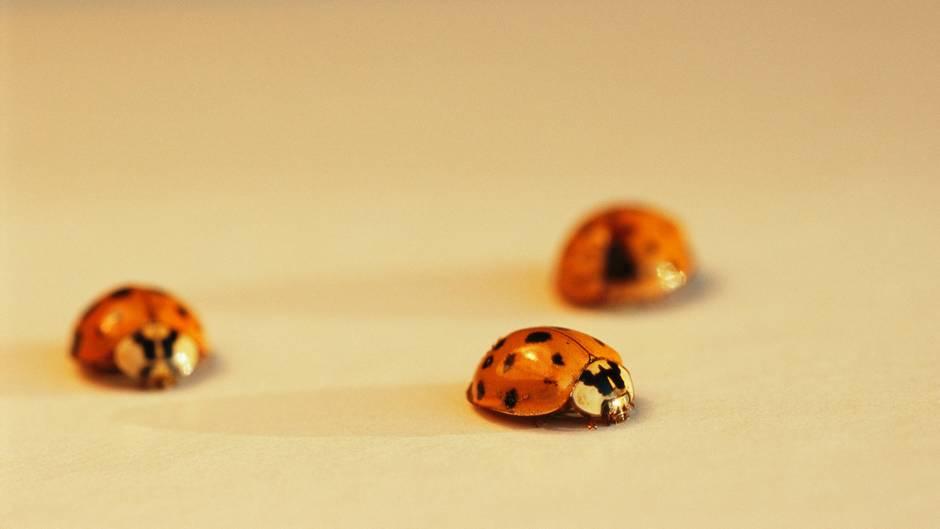 Invasion: Warum gibt es zurzeit so viele Marienkäfer in Wohnungen?