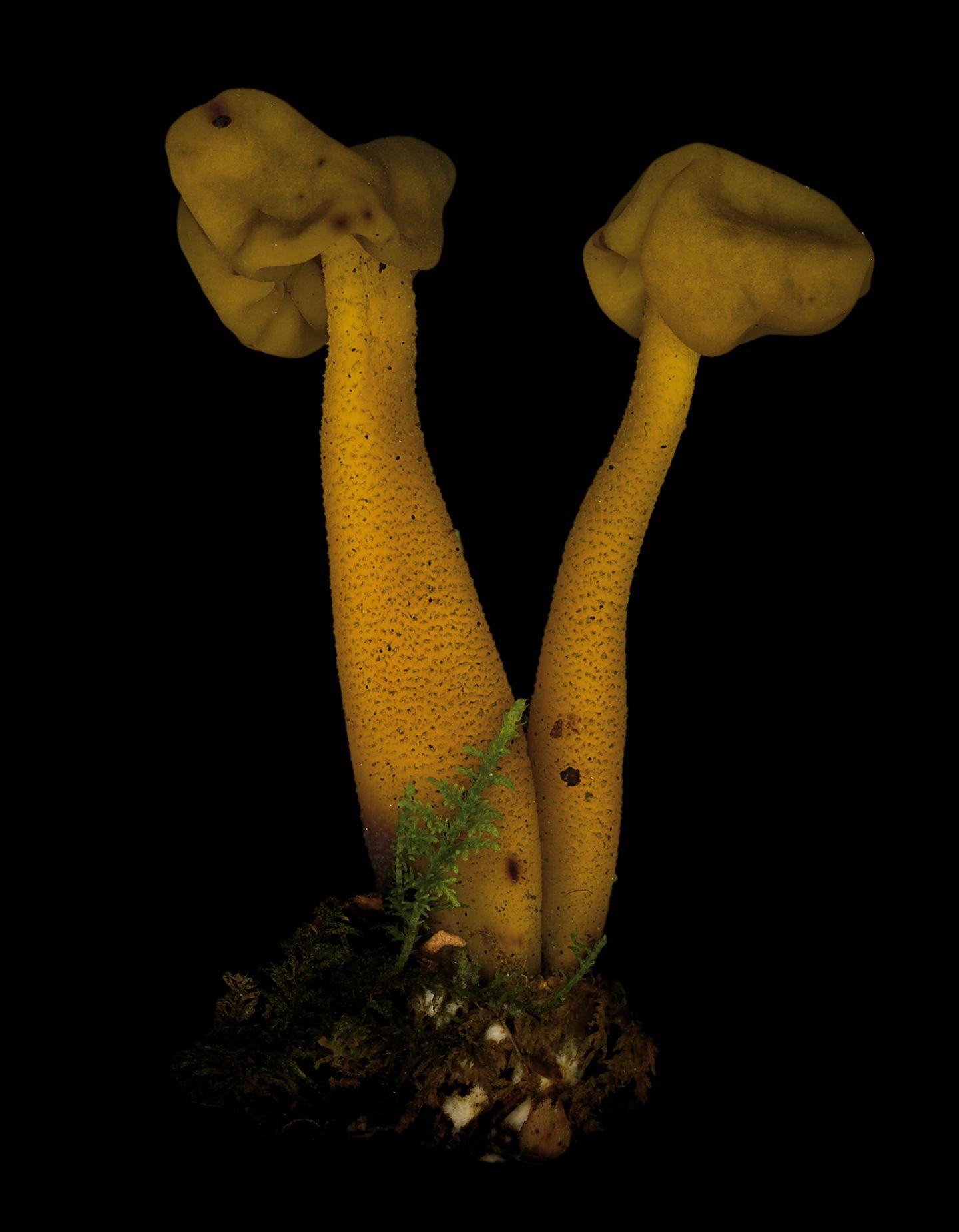 Grüngelbes Gallertkäppchen  Dieser Pilz treibt sogar Raketen an, das enthaltene Gift Monomethylhydrazin kennen vor allem Ingenieure. Es ist Bestandteil von lagerfähigen Raketentreibstoffen.