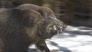 nachrichten wildschwein