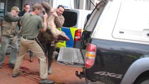 Das erlegte Wildschwein wird in ein Auto getragen. Zwei aggressive Wildschweine haben in der Innenstadt von Heide Passanten angegriffen. Vier Menschen wurden nach Angaben der Polizei verletzt, ein Wildschwein vor der Sparkasse erschossen.