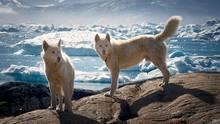 """""""Am Rande des kleinen Dorfes Tiniteqilaaq im Osten Grönlands beobachtete ich diese zutraulichen Grönlandhunde. Sie fügten sich auf ganz wunderbare Weise in die schroffe Eis- und Schneelandschaft. Natur in all ihrer Pracht!""""      Mehr Fotos vonulrike.morlock-fienin derVIEW Fotocommunity      Aktionen und Informationen aus der VIEW Fotocommunity aufFacebookoderTwitter"""