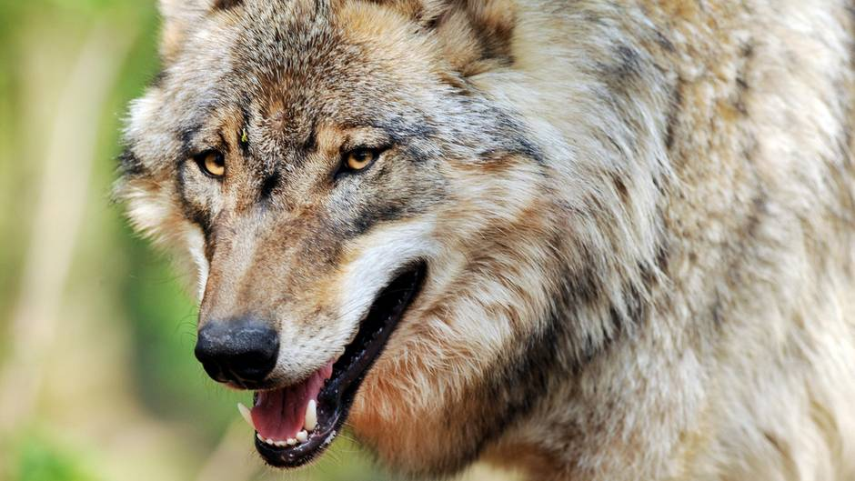 In Sachsen wurde ein Wolf zum Abschuss freigegeben (Symbolbild)
