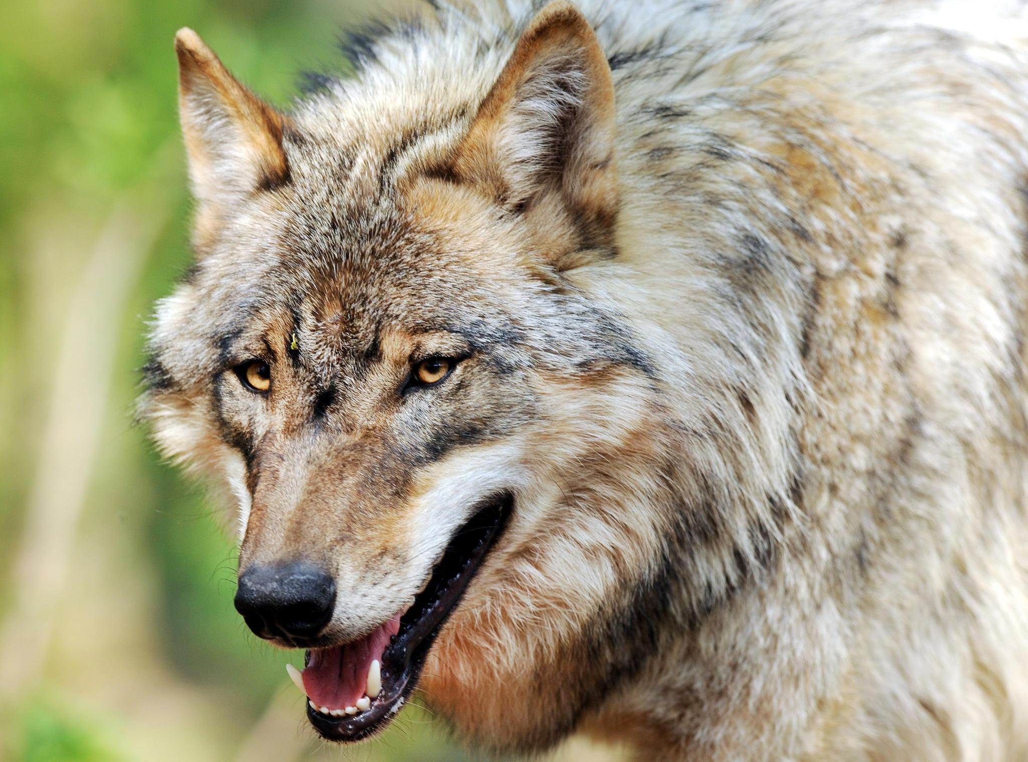 News: Wolf nach Schafsrissen zum Abschuss freigegeben   STERN.de