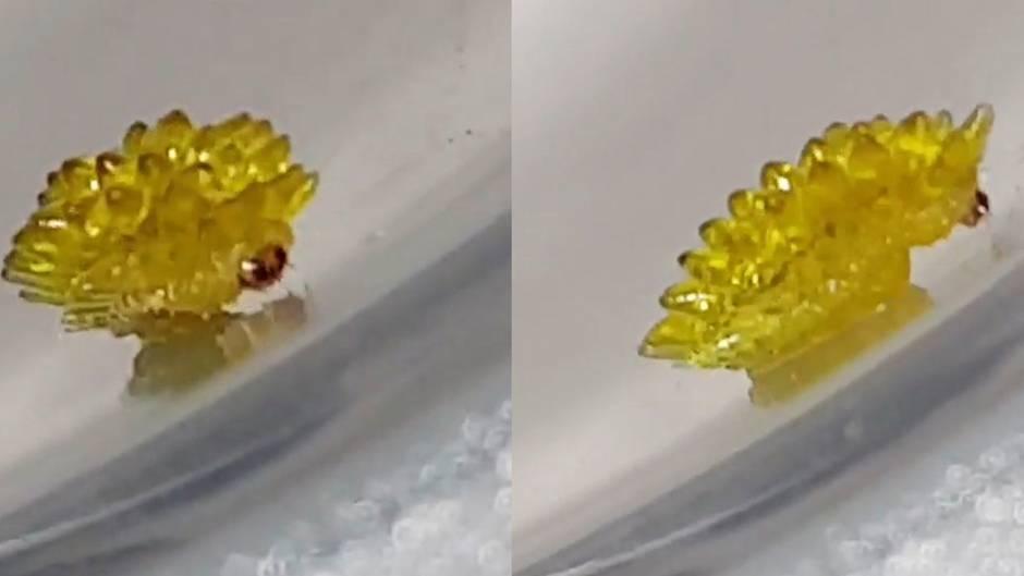 Was ist es?: Diese seltsame Kreatur sieht aus wie ein krabbelndes Gummibärchen