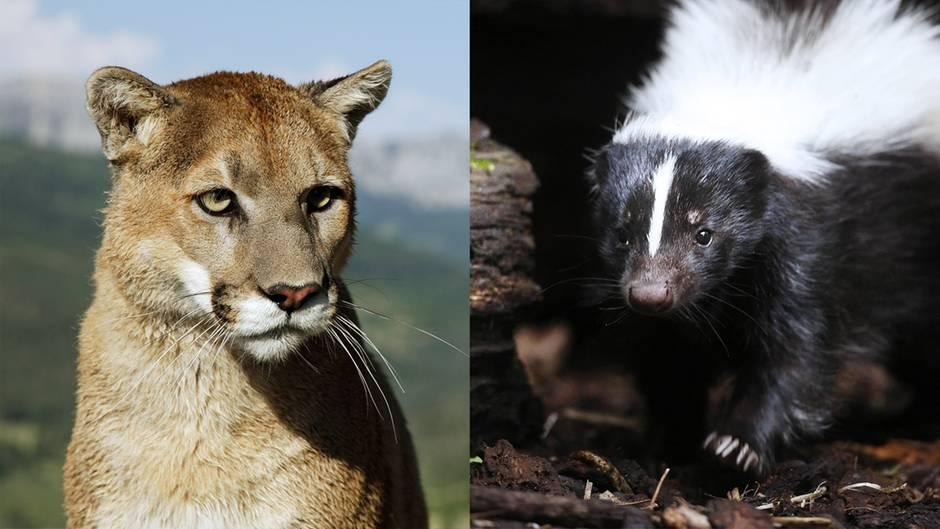 David gegen Goliath: Beute wird zum Jäger: Stinktier nimmt es mit ausgewachsenem Puma auf