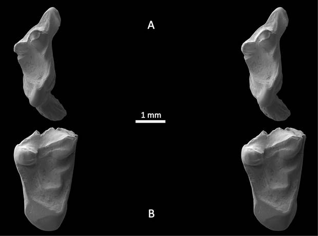 Die Zähne der rattenähnlichen Spezies - aufgenommen mit einem Elektronen-Mikroskop