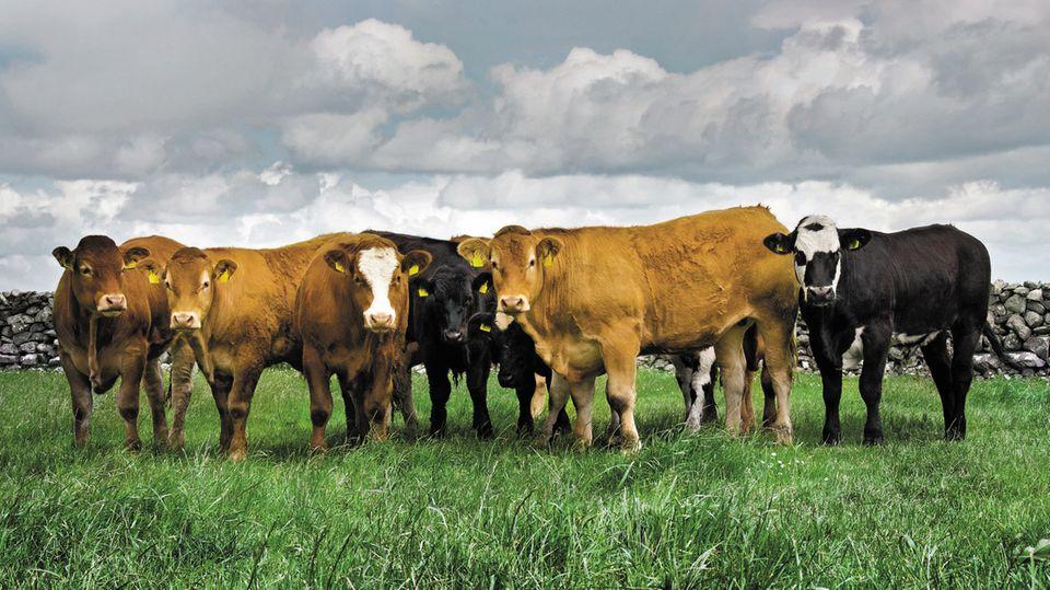 Irish Beef: Warum irisches Rindfleisch so gut ist – und wir uns davon ein Stück abschneiden sollten
