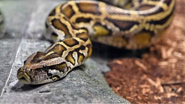Eine Phthon - dieses Tier ist allerdings wesentlich größer als die Baby-Python, die der junge Mann mitführte.