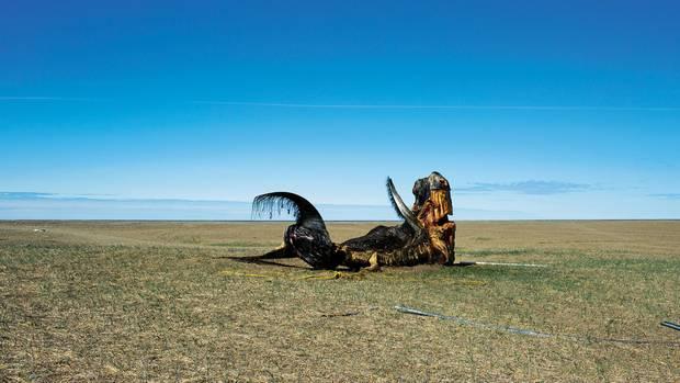 Wie ein Urzeitmonster: die verfaulenden Überreste des von Chris erlegten Wals auf einer Wiese bei Gambell