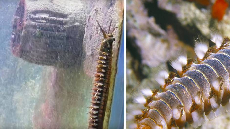 1,20 Meter langes Meereswesen: Wie gelangte dieser Riesen-Wurm unbemerkt ins Aquarium?