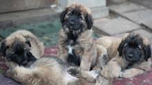 Vier Hundewelpen sitzen auf einer Decke. zwei spielen miteinander.