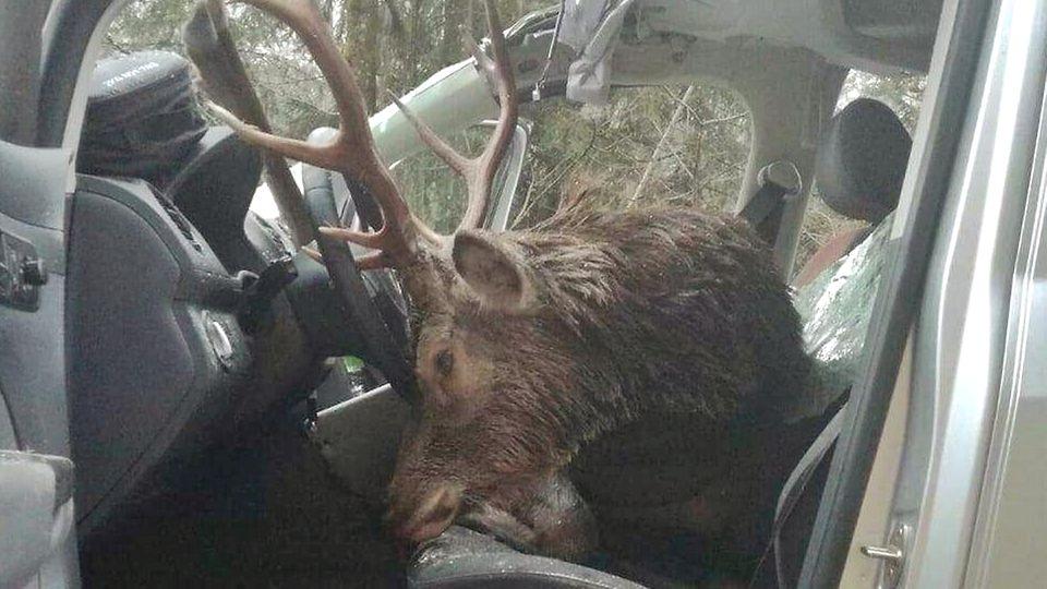 Der tote Hirsch auf den Vordersitzen des schwer beschädigten Fahrzeugs