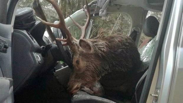Der Hirsch sprang in Tirol vor das Auto und krachte durch die Windschutzscheibe