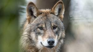 Polizisten in Sachsen-Anhalt dürfen Wölfe jetzt unter bestimmten Bedingungen erschießen (Archivbild)