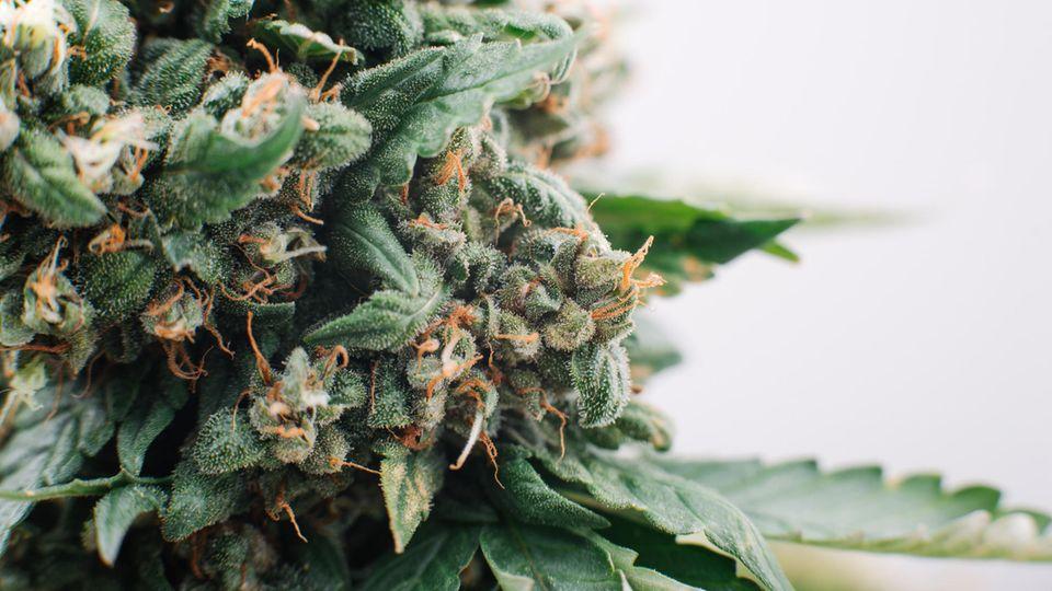 Blüten der Marihuana-Pflanze