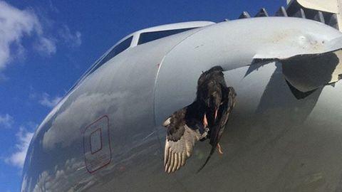 Der tote Vogel hängt im Bug des in Miami gelandeten Airbus A319 von American Airlines fest.