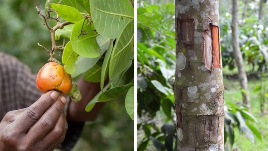 Ökologie-Rätsel: Erkennen Sie, welche Nahrungsmittel von diesen Pflanzen stammen?