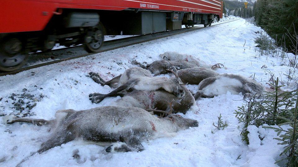 Tote Rentiere in Norwegen