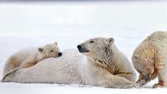 Die Eisbärenmutter und ihre Jungen in zärtlicher Dreisamkeit. Vielleicht sind solche Bilder bald eine Rarität: Die Geburtenrate bei Eisbären ist in Alaska bereits jetzt rückläufig.