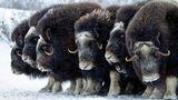 Moschusochsen sind bestens an die harten Bedingungen der Hocharktis angepasst. Unter ihrem zottigen Überfell sitzt eine bis zu fünf Zentimeter dicke Wollschicht sowie eine dicke Fettschicht als gut funktionierender Kälteschutz darunter. Ihre Augen verfügen über große Pupillen und eine hochempfindliche Netzhaut, sodass sie in der langen Polarnacht einigermaßen gut sehen können.