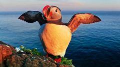 Die berühmtesten Vögel an der Steilküste Islands sind Papageitaucher, die hier fast keine Scheu zeigen. Wenn man sich ihnen langsam nähert, sind sogar ganz besondere Aufnahmen mit einem Weitwinkelobjektiv möglich.