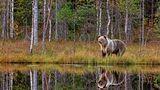 Ein Braunbär spiegelt sich in einem kleinen See im finnisch-russischen Grenzgebiet nahe Vartius. Die Bären hier sind Grenzgänger: Sie wandern zwischen Russland und Finnland hin und her.