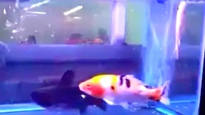 Überraschende Attacke: Darum sollte man die Fisch-Auswahl im Aquarium genau bedenken