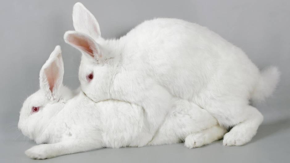 Tiersex: Zwei Kanninchen