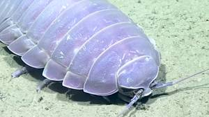 Riesenassel Meeresboden Golf von Mexiko Atlantik