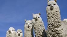 Fünf weiße Alpakas stehen auf einer Wiese