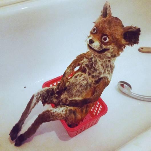Ein ausgestopfter Fuchs mit verrückten Augen sitzt in einer Badewanne
