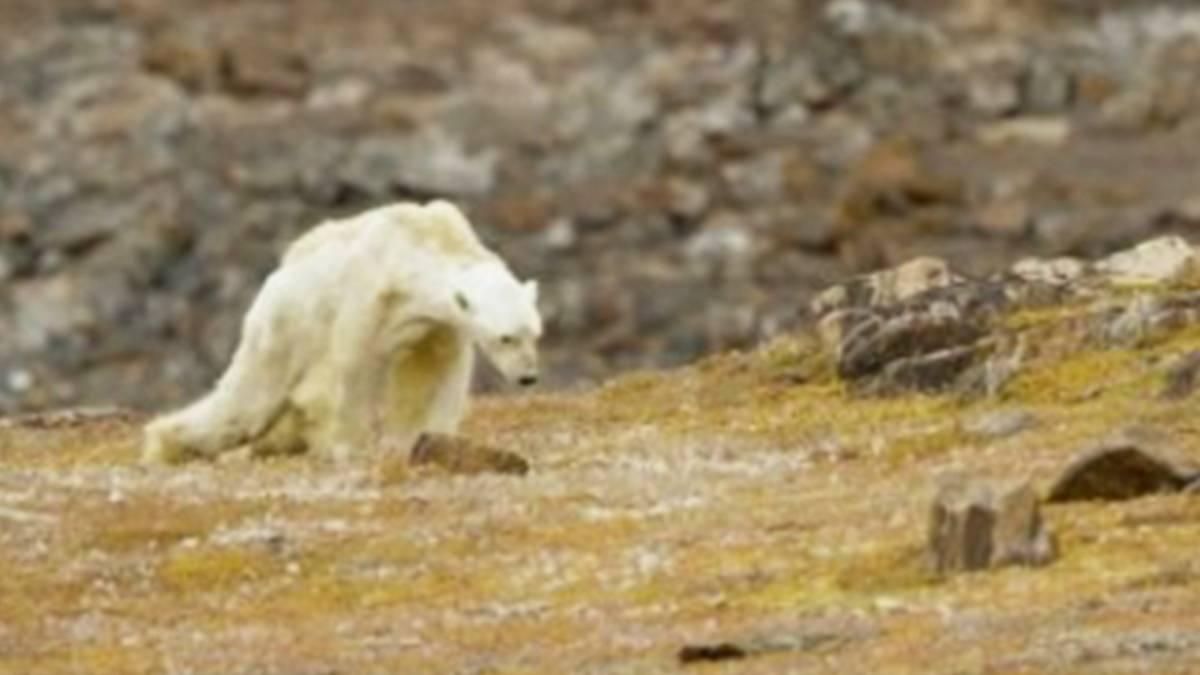 Das Leiden des Eisbären