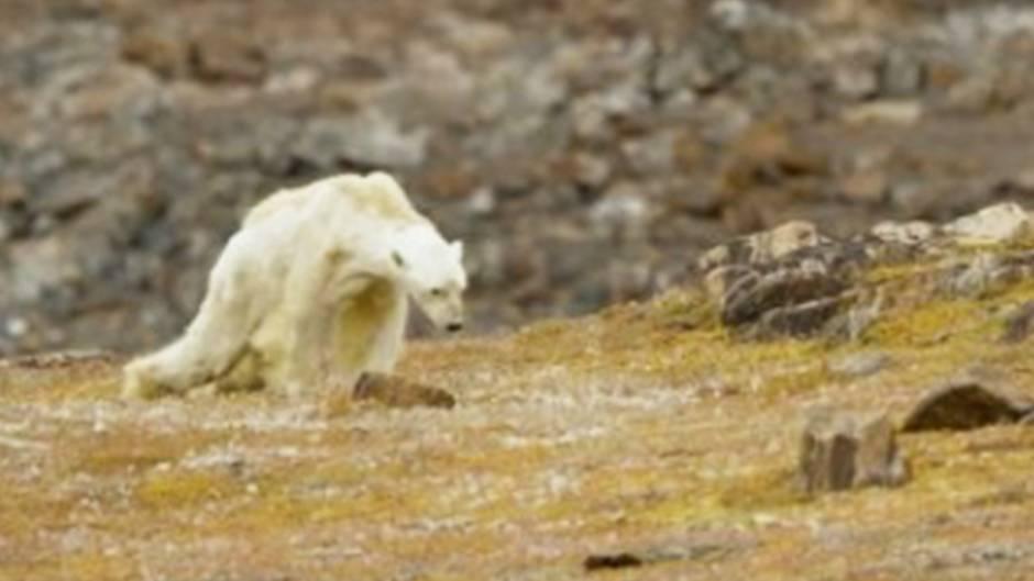 """Ergreifende Bilder: Umweltaktivist filmt sterbenden Eisbären: """"So sieht Verhungern aus"""""""