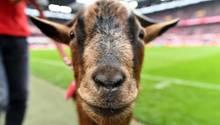 Geißbock Hennes muss beim FC Bayern ran, dem 1.FC Köln gehen die Spieler aus