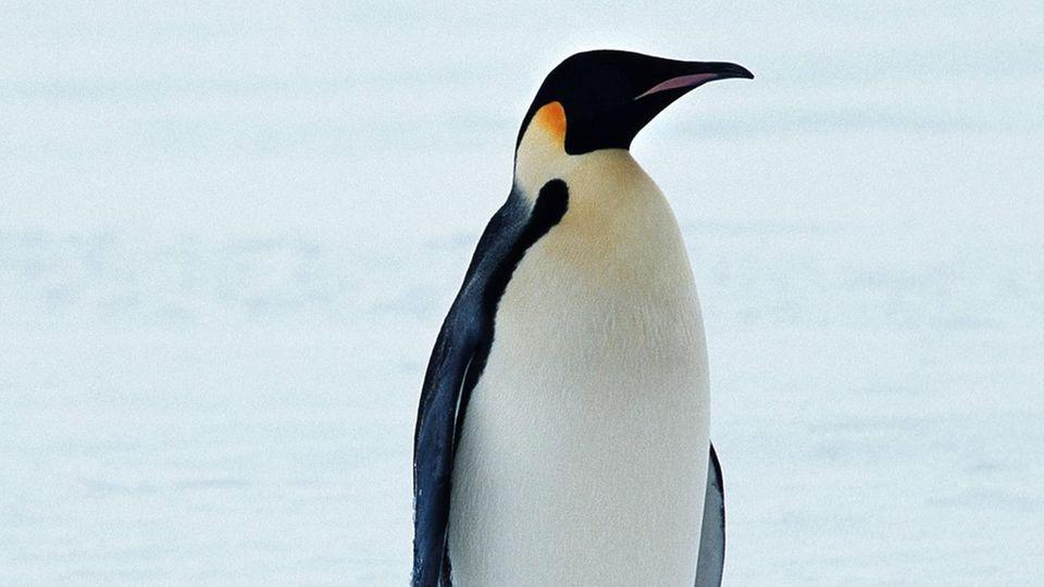 Königspinguin, die größte heute lebende Pinguinart