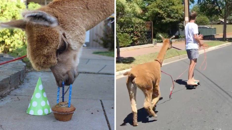 Alpaca Chewpaca ist Star auf Instagram
