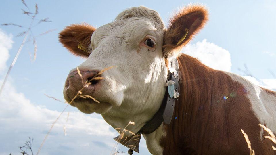 Die Kuh selbst ist nicht das Problem, aber die Glocke: Ein Unternehmer hat in Bayern gegen das Geläut geklagt