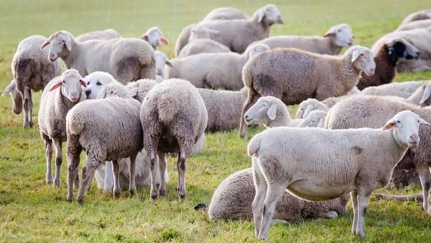 Umgekippte Schafe lösen Polizeieinsatz aus