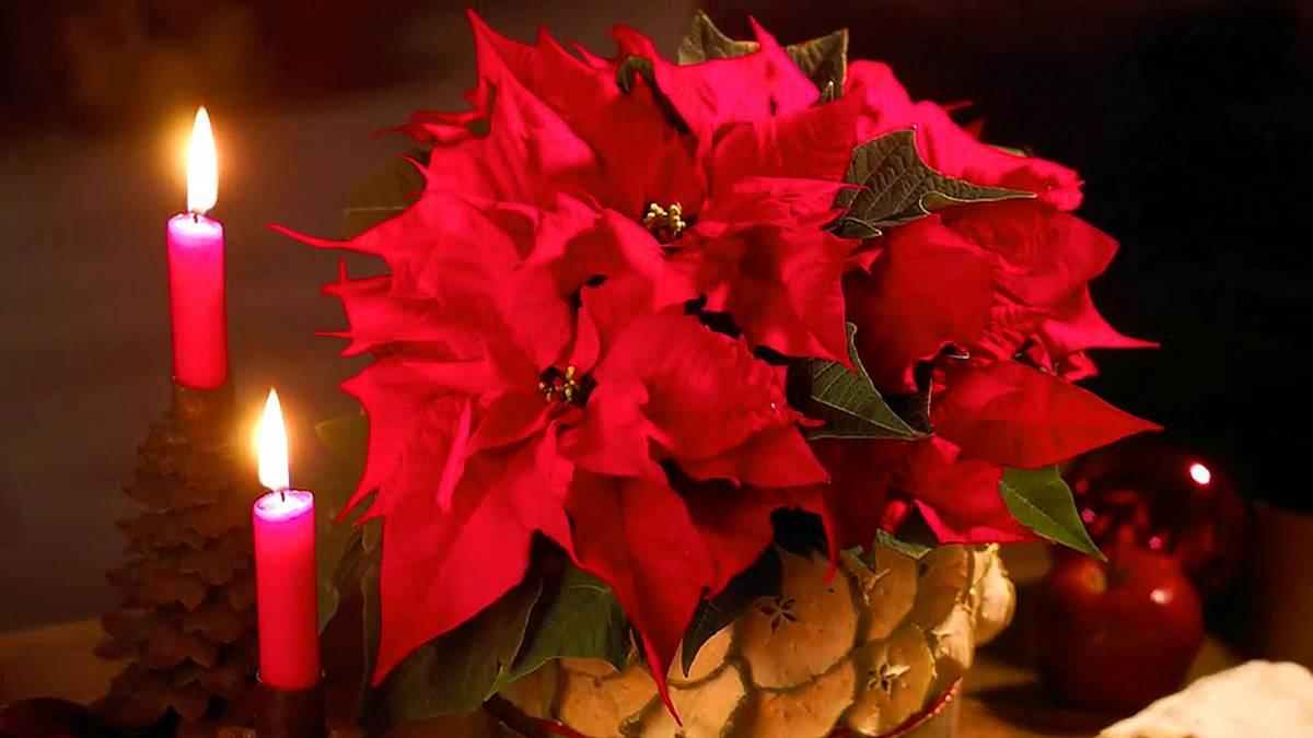 weihnachtsstern pflegetipps f r die beliebte pflanze. Black Bedroom Furniture Sets. Home Design Ideas