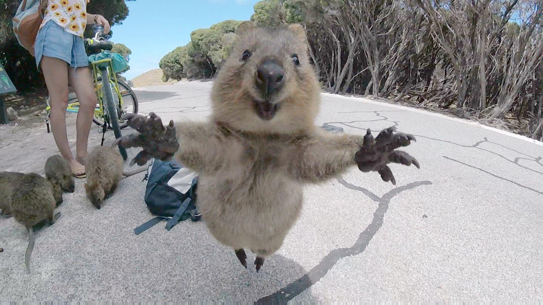 März  Rottnest, Australien. Schnappschuss von einem Quokka, einem australischen Kurzschwanzkänguru. Dem 21-Jährigen Studenten Campbell Jones lief das Mini-Känguru, das die Arme wie zu einer äußerst freundlichen Begrüßung ganz weit ausbreitete, bei einer Fahrrad-Tour über den Weg. Der Schnappschuss verbreitet sich seither übers Internet rund um die Welt.