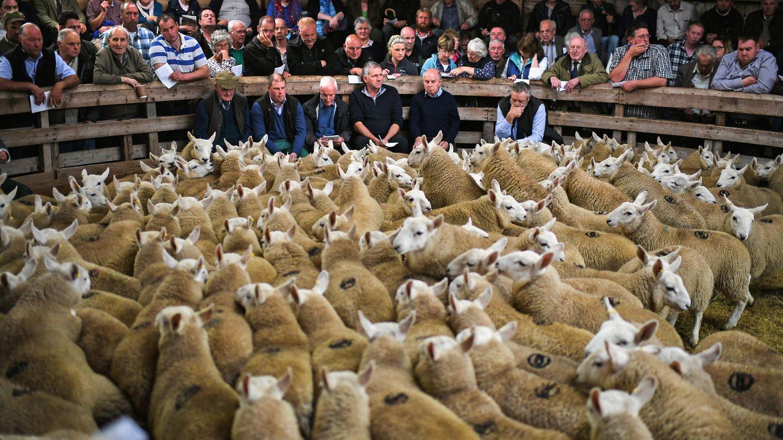 August  Lairg, Schottland. Das tausendste Schaf hieß Harald - und war noch längst nicht das letzte. 20.000 Schafe und ihre Schäfer sind auf dem jährlichen Schafsmarkt inLairg versammelt - dem größten Schafsverkauf, den es in Europa gibt. Den Geruch dort kann man nur erahnen.