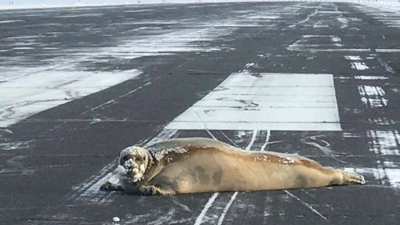 Oktober    Utqiagvik, USA. Eine Robbe liegt auf derLandebahn des Flughafens von Utqiagvik, dem nördlichsten Flughafen der USA im Bundesstaat Alaska. Tierschützer haben sich dem blinden Passagier, der offenbar auf die Landebahn gerobbt ist, angenommen. Sie spannten den Meeressäuger an einen Motorschlitten und brachten ihn in Sicherheit.
