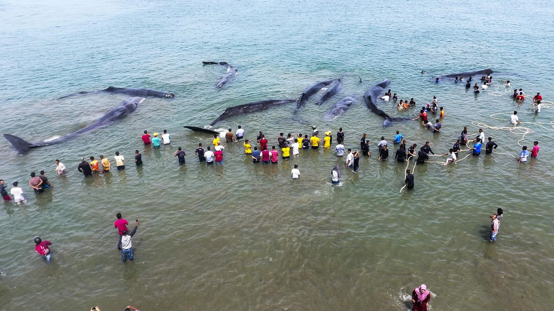 November    Aceh Besar, Indonesien. Insgesamt neun Pottwale sind an der nördlichen Spitze der Insel Sumatra gestrandet und drohen zu verenden. Mit vereinten Kräften versuchen Umwelt-Aktivisten und Beamte der staatlichen Naturschutzbehörde, die tonnenschweren Meeressäuger aus den flachen Gewässern zu befördern - ein Wettlauf mit der Zeit. Warum sich Wale immer wieder in für sie viel zu flache Küstengewässer verirren, hat die Wissenschaft bisher nicht eindeutig klären können.