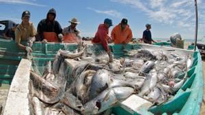 An Bord eines Fischkutters liegt in einer türkisfarbenen Kiste ein Netz voller Trommlerfische