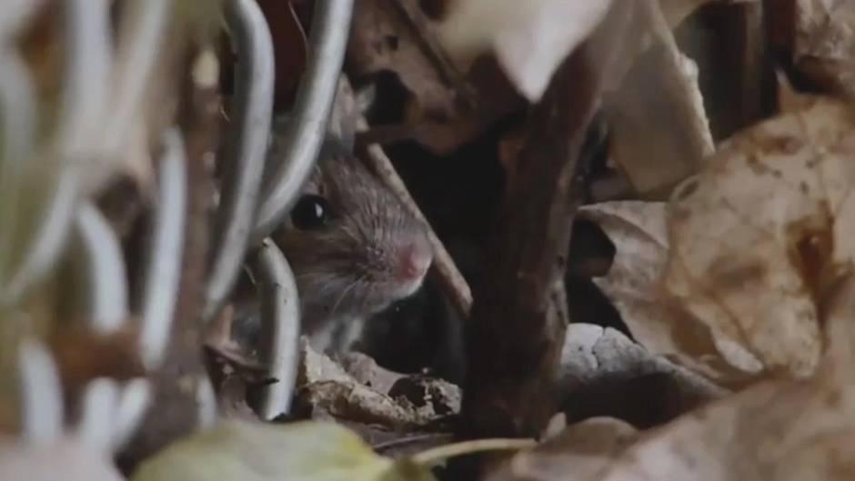 Infektionskrankheit: Mäuse verbreiten lebensbedrohlichen Hantavirus in Deutschland