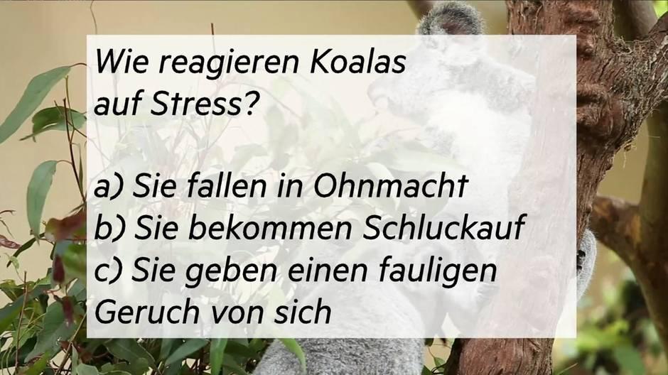 Biologie-Rätsel: Wissen Sie, wie ein Koala auf Stress reagiert?