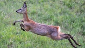 Auf der Flucht springt ein junger Rehbock im Morgengrauen über eine Wiese
