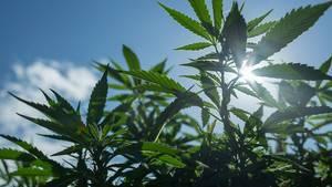 kalifornien cannabis