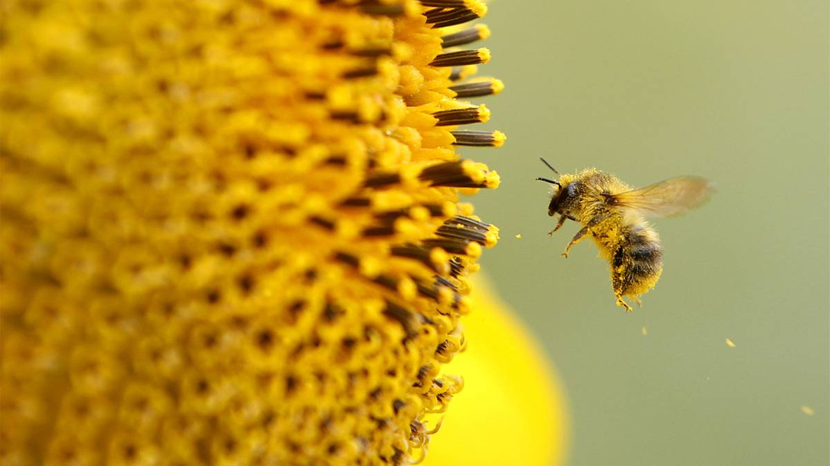insektensterben warum das verschwinden der bienen f r uns so bedrohlich ist und wie es. Black Bedroom Furniture Sets. Home Design Ideas